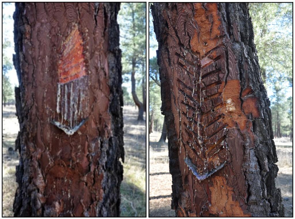 La resina - El Arboreto de Montes